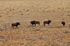 Black Wildebeest (tim ellis) Tags: holiday animal southafrica nationalpark kimberley northerncape mokala connochaetesgnou blackwildebeest whitetailedgnu raremammals