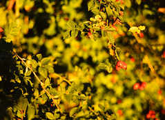 20151010-DSC_6721 (sarajoelsson) Tags: color mamiya film rural mediumformat evening 645 sweden slidefilm september velvia slides fujichrome summerhouse goldenhour latesummer diafilm filmphotography mamiya645protl 80mmf19 lohrad mellanformat digitizedwithdslr