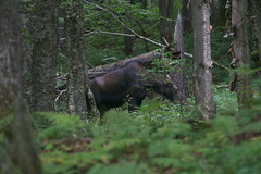 Łoś | Moose