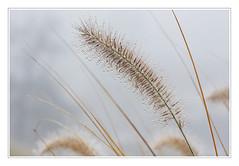 Lampenputzergras im Morgennebel (macplatti) Tags: autumn beauty austria nebel herbst natur gras garten perlen schnheit aut morgentau vorarlberg stauden koblach pennisetumalopecuroides