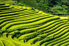 vietnam-rice-fields-2