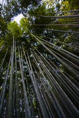 Towering Bamboo (China Chas) Tags: japan bamboo arashiyama nara kansai 1022mm bambooforest 2015
