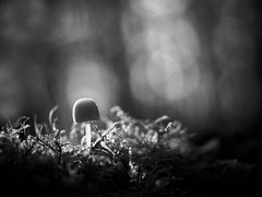 Champignon. (steph20_2) Tags: autumn bw white black macro monochrome closeup automne lumix noir noiretblanc ngc panasonic g5 monochrom blanc 45mm champignon m43 skanchelli