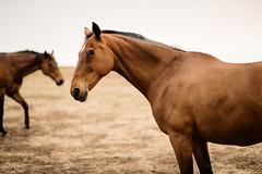 Anjella_Roessler_horses (Anjella Roessler) Tags: horses horse grass nikon farm dry australia arid