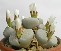 Lithops julii. [C 349, Namibia, 45 km SE of Warmbad](2) (Succulents Love by Pasquale Ruocco (stabiae)) Tags: southafrica succulent lithops mesembryanthemum namibia mimicry succulents stabiae mimetismo piantegrasse aizoaceae succulente mesembryanthemaceae cactusco mesembs fulviceps floweringstones sassifioriti pasqualeruocco mesembryanthema succulentslove forumcactusco