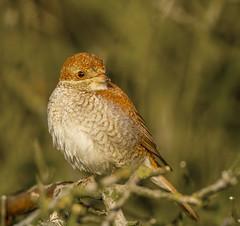 Red Backed Shrike (Lanius Collurio) (waynedavey67) Tags: bird nature canon outdoors wildlife 7d shrike rspb redbacked 300mmlf28