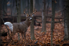 GimmeThreeSteps (jmishefske) Tags: park nature wisconsin franklin nikon toes december wildlife center deer rack milwaukee buck hoof bigboy whitetail wehr antler rut 2015 limping whitnall halescorners tenpoint d800e
