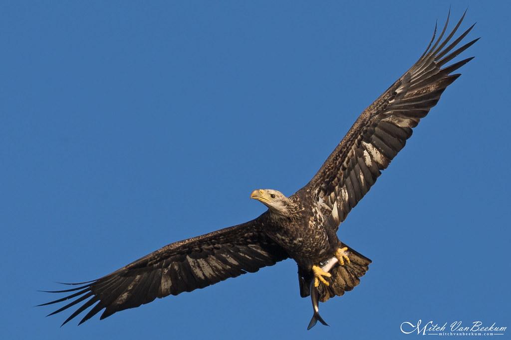 Bald Eagle Zombie (Leucistic?)