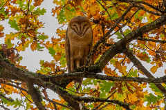 Sleepy Female Barn Owl (bcbirdergirl) Tags: female barnowl sleepy sleeping nocturnal bc owl birdofprey peaceful tytoalba sara bcwildlifeact threatened stopurbanization