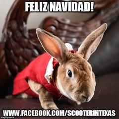 feliz navidad (tammybeck) Tags: scooter rescuedrabbit rescuedrabbitsorg rabbitrescue lapin królik bunny kaninchen kanin