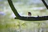 Rotkelchen (foto.schwalm81) Tags: rotkelchen bird vogel rot vögelchen stamm bokeh redbreast