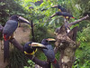 Aracari Meeting (jeff_a_goldberg) Tags: laquintadesarapiqui pteroglossustorquatus sarapiqui gopro costarica hero4 winter naturalhabitatadventures nathab toucan collaredaracari heredia cr