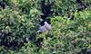 Wood pigeon (5) (John Carson Essex UK) Tags: thegalaxy thegalaxystars rainbowofnature supersix
