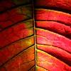 bicolour (vertblu) Tags: macromode macro makro macromondays hmm itsalive poinsettia bract poinsettiabract poinsettie weihnachtsstern braktee hochblatt leaf leafpatterns leafveins veins abstractleaf abstract abstrakt abstraction abstractnature natureabstracted red green complementarycontrast oppositecolours pink vertblu 500x500 bsquare kwadrat simplenature patterns pattern patterned texture texturesquared textures textur geometry geometric geometrical symmetry symmetric symmetrical