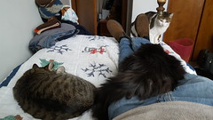 Catvana (denebola2025) Tags: cats family pets pet cat utah pleasant view north ogden cuddles cuddle cuddling deer antlers cute adorable