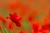Summerfeeling (jwfoto1973) Tags: mohnblume klatschmohn klatschmohnfeld blume flower johannesweyers d7100 deutschland germany niederrhein nikon natur nature poppy red
