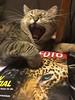 Kelly. (thmlamp) Tags: cat catcontent cover desktop fotostream gähnen katze kelly magazine schreibtisch yawning