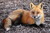Fantastic Mr. Fox (marylee.agnew) Tags: red fox bold beautiful canine male nature wildlife animal outdoor