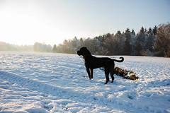Erster Schnee (Sa Scha LC) Tags: badwaldsee oberschwaben winter schnee snow hund dog canecorso süddeutschland weis schwarz schwarzerhund molosser steinach steinacherried ried