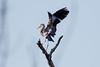 _F0A7266.jpg (Kico Lopez) Tags: ardeacinerea galicia garzareal lugo miño spain aves birds rio