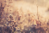 L'heure dorée (Chloé +++) Tags: heure dorée doré golden hour morning matin hiver winter flower flowers nature fleur fleurs soleil sun light sunrise herbe grass bokeh canon eos400d profondeur de champs field