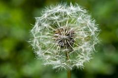 The dandelion (Dwsmith18) Tags: dandelion flower nature wish nikon minnesota bwca life macro closeup close
