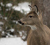 Deer in the yard this afternoon. (Mawrter) Tags: deer whitetaildeer wild wildlife doe animal oneanimal nature outdoors outdoor outside canon newjersey nj close closeup cloudy overcast brown profile portrait snow winter specanimal