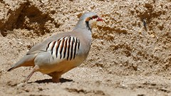 Chukar Partridge, India 2016 (reurinkjan) Tags: india 2016 ©janreurink himachalpradesh spiti kinaur ladakh jammuandkashmir kargil chukarpartridge alectorischukar familypheasants partridges turkeys bird