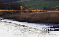Catching the light (jeansinclair1) Tags: scotland fife newburgh river rivertay trees reeds sun