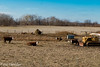 Cows in the pasture (david_law44) Tags: loami illinois johns creek road cows allis chalmers hd 11 crawler tractor sangamon county
