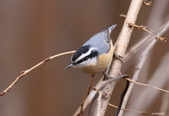 """""""Red-breasted Nuthatch"""" """"Sitta canadensis"""" (jackhawk9) Tags: redbreastednuthatch sittacanadensis nuthatch bird wildlife nature jackhawk9 southjersey backyardbirding newjersey usa canon ngc fantasticnature"""