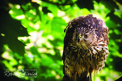 _MG_8694RMH 12.1 CMYK WebsiteRGB (creationartistcoPHOTO) Tags: hawk bird fly flight feathers green greentree treetop animal eyes wing
