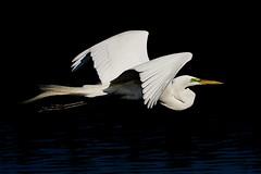 Elegance In Flight (J Baker Photography) Tags: florida wetlands rookery flight bif great egret elegance graceful whitebirds matingplumage beaty