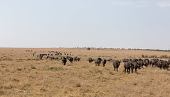 Home, home on the range... (mirsasha) Tags: january kenya africanbuffalo 2017 masaimara narokcounty ke