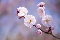 20170219南部梅林4842 (K.masao) Tags: plumblossoms flowers nature japanmasaokatayama