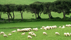 Pascolo in Toscana - Pasture in Tuscany (Dado 51) Tags: italy toscana tuscany pecore sheep pascolo gregge verde alberi trees