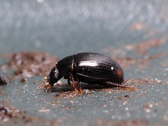 Tiny <2mm beetle from the compost bin. Cercyon marinus ? (mickmassie) Tags: coleoptera gardentq209783 insecta