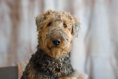 Unkempt....  [Explored} (RubyD.11) Tags: dog airedale terrier nikond750 naturallight puppy