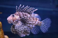 canoneosrebelt5 chadsparkesphotography fish water waltdisneyworld wdw wildlife aquarium epcotlivingwiththeseas lionfish nature disney disneyworld epcot