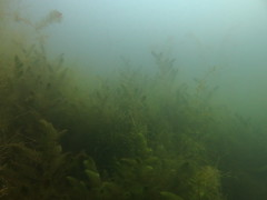 Underwater Landscape, Kiessee Jarmen (yayapapaya77) Tags: plants lake see underwater pflanzen diving mecklenburgvorpommern tauchen unterwasser jarmen ostvorpommern zarrenthin canonpowershotg15 kiesseejarmen