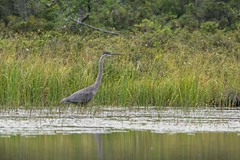 East Inlet, Pittsburg, NH (vermontinks) Tags: blue heron birds kayak eagle great bog