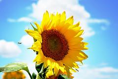 huge sunflower (heartinhawaii) Tags: summer nature rural colorado bluesky denver yellowflower sunflowers sunflower latesummer summerflowers sunflowerfield ruralcolorado hugesunflower neardia nikond3300 coloradosunflowers diasunflowers sunflowerandsky denversunflowerfield sunflowersneardia