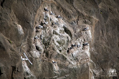 Seagulls on cliff (andrea.prave) Tags: sea cliff mer water gua island mar iceland islandia agua eau meer wasser mare seagull southern peninsula acqua falaise  deniz gaviota vatten vann gabbiano mouette islande hav  scogliera sj islanda grindavk      grindavik      valahnkur       southernpeninsula sj