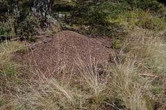 Nockberge (Harald Reichmann) Tags: nest natur wald insekt tier ameise nockberge lebewesen formicarufa ameisenhaufen rotewaldameise wöllanernock