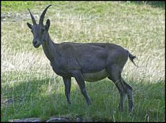 Femelle de bouquetin ou tagne (wilphid) Tags: montagne animaux chamonix parc montblanc sauvage hautesavoie faune leshouches parcdemerlet