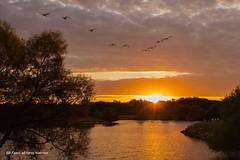 Easterly Flight (CP Images) Tags: lake water clouds sunrise geese flock flight cpimageskansassunrisewatercolorskyreflectioncloudsoutdoorsnaturelakeparkderby