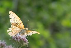 Le Tabac d'Espagne - Argynnis paphia -   (michel lherm) Tags: papillons argynnispaphia lpidoptres letabacdespagne rhopalocres