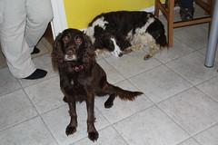 Cosette_383 (leeder-five) Tags: cosette rin pflegehund