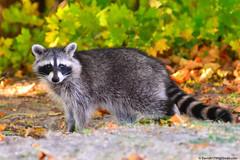 Raccoon (David Davila Photography) Tags: animal illinois il raccoon geotag peoria 2015 grandviewdrive nikond800 holuxm241