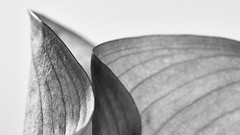 How to photograph a lily? (sjepwa) Tags: light 2 blackandwhite bw netherlands colors lines closeup composition contrast landscape zwartwit bokeh perspective scene depthoffield explore crop fujifilm highkey analogue shallow popular landschap metering sfeer leadinglines reframe oldambt winschoten analoog scne perspectief oldgear flowinglines aperturef8 silverefexpro hoogcontrast canonfd200mmf4macro fujifilmxpro1 2secshutterspeed
